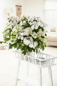 Hydrangea Runaway Bride