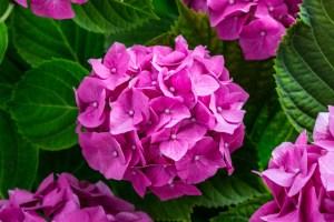 How to grow the best Hydrangeas | Gardening Advice | Mr Plant Geek