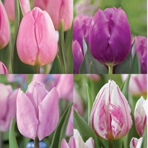 Tulips - Purple Perfection