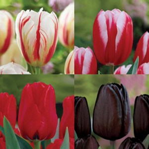 Tulips - Red Magic