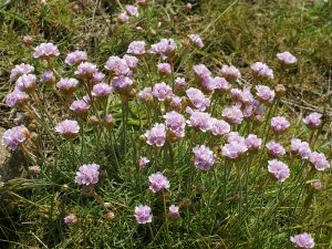Wind-proof Plants: Ameria maritima
