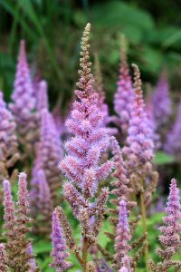 Plants for Damp Areas: Astilbe chinensis