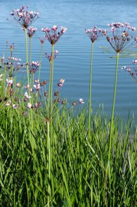Plants for Damp Areas: Butomus umbellatus