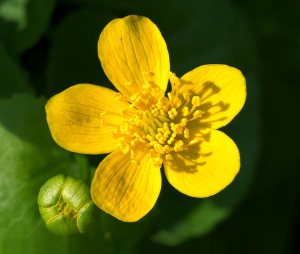 Plants for Damp Areas: Caltha-Palustris