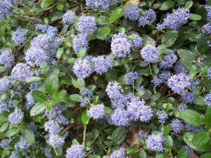 Plants for a Family Garden: Ceanothus thyrsiflorus repens