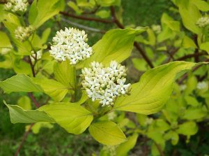 Plants for Damp Areas: Cornus-alba