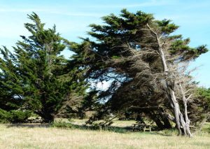 Wind-proof Plants: Cupressus macrocarpa