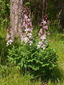 Plants for Dry Areas: Dictamnus albus