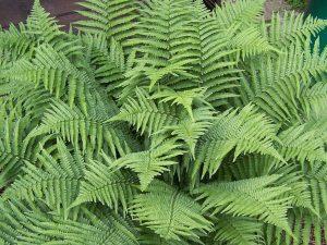 Plants for Shady Areas: Dryopteris filix-mas