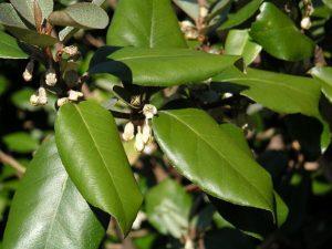 Wind-proof Plants: Eleaegnus x submacrophylla