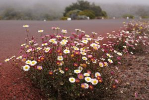 Plants for Dry Areas: Erigeron karvinskianus