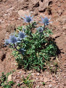 Wind-proof Plants: Eryngium bourgatii