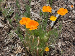 Wind-proof Plants: Eschscholzia californica
