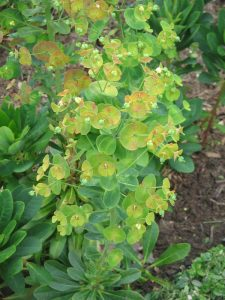 Plants for Shady Areas: Euphorbia amygdaloides