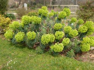 Plants for Dry Areas: Euphorbia characias subsp