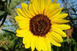 Plants for a Family Garden: Sunflower
