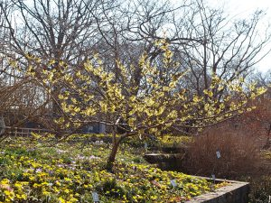Plants for Shady Areas: Hamamelis mollis