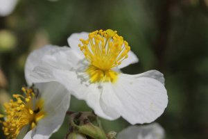 Plants for Dry Areas: Helianthemum 'Wisley white'