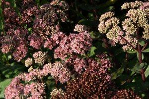 Plants for Dry Areas: Hylotelephium 'Matrona'