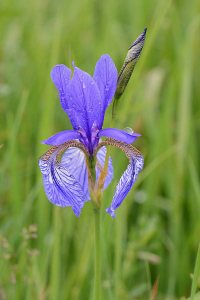 Plants for Damp Areas: Iris sibirica