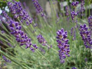 Plants for Dry Areas: Lavandula angustifolia 'Hidcote'