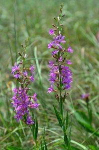 Plants for Damp Areas: Lythrum virgatum 'Dropmore Purple'