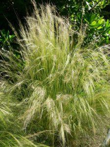 Wind-proof Plants: Nassella tenuissima