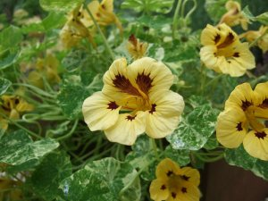 Plants for a Family Garden: Nasturtium