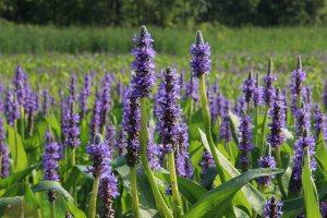 Plants for Damp Areas: Pontederia cordata