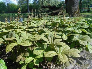 Plants for Damp Areas: Rodgersia aesculifolia