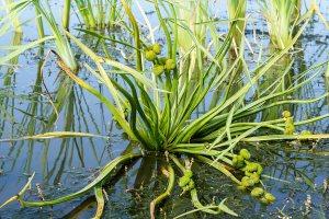 Plants for Damp Areas: Sagitarria sagatifolia
