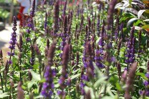 Plants for Dry Areas: Salvia nemorosa 'Caradonna'