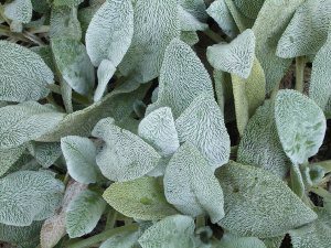 Plants for a Family Garden: Lamb's Ears