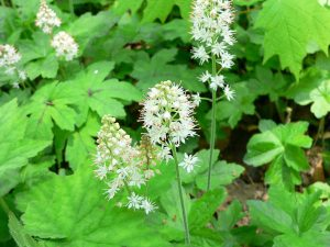 Plants for Shady Areas: Tiarella cordifolia