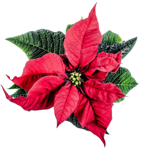 Keeping your Poinsettia healthy
