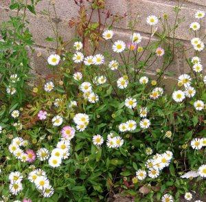 Plants for a Family Garden: Mexican flea bane