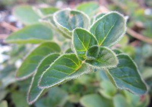 Plants for a Family Garden: Oregano
