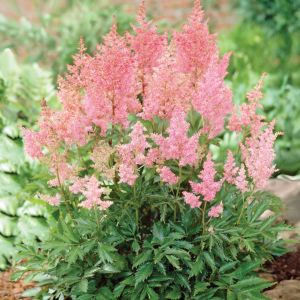 Pantone Colour of the Year: Astilbe Giant Bare Roots