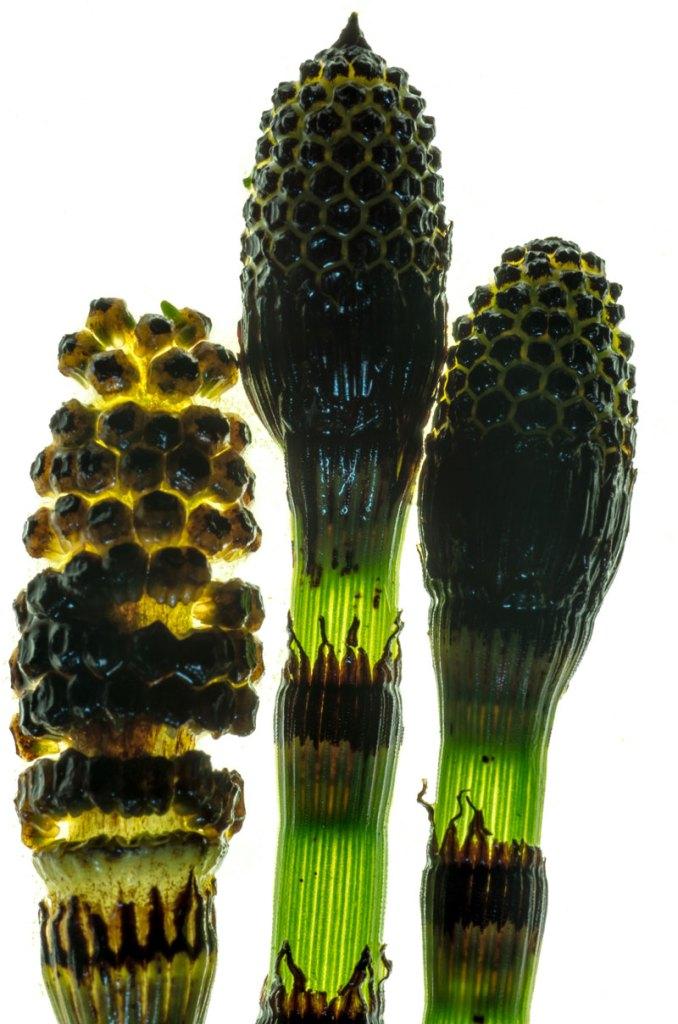 Equisetum japonicum spore heads by Marius Grose