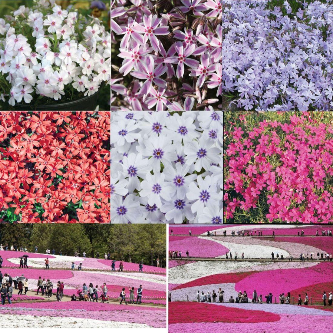 Mont Rose 18 x Carpet Phlox Young Plants