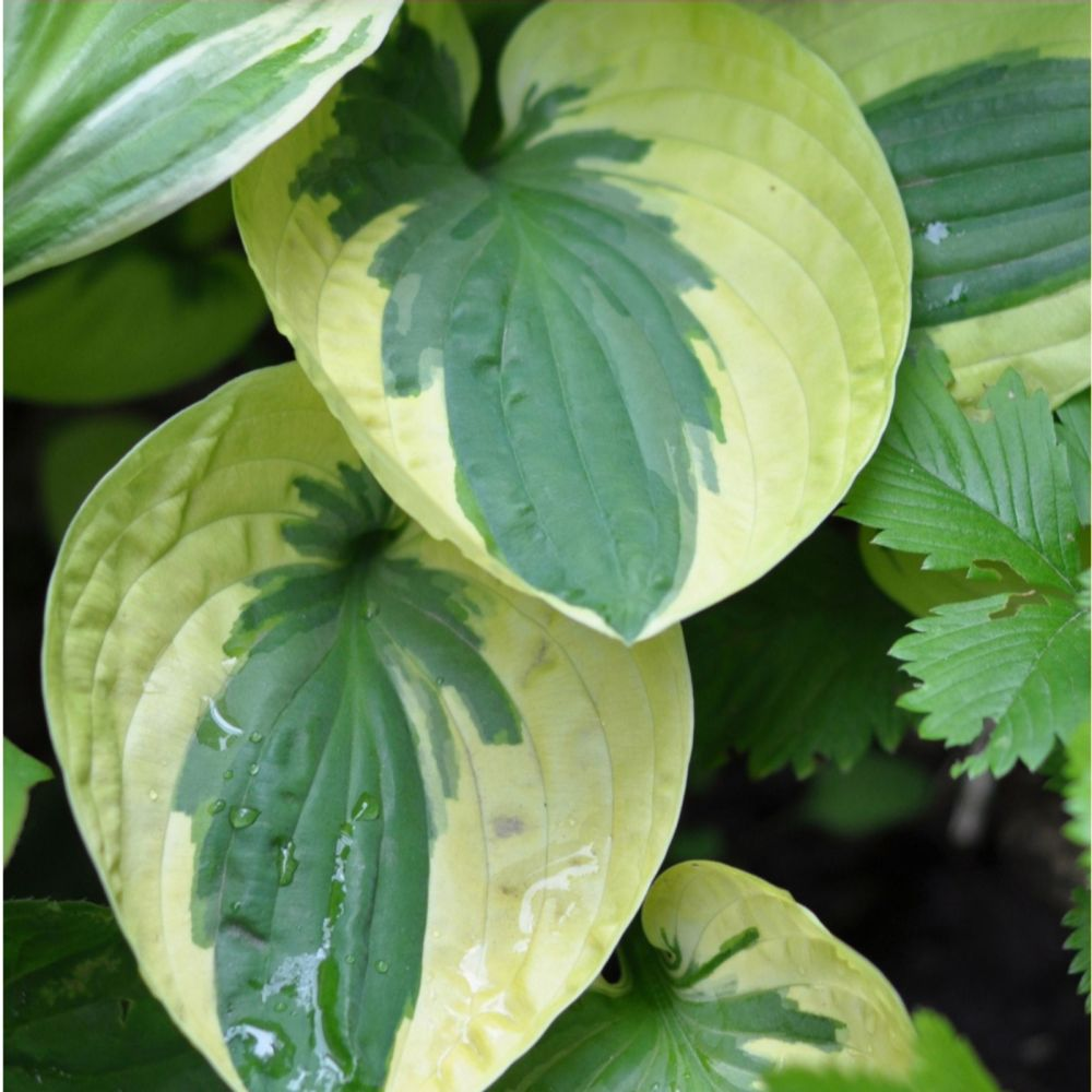 Thompson & Morgan Hosta Collection 10 Bare Roots