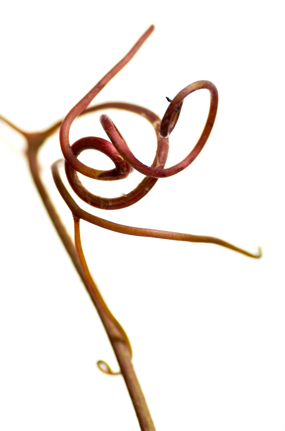 Vitis coignetiae Ornamental Vine tendril by Marius Grose