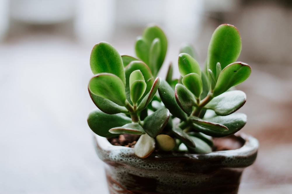 Lucky plants: Jade plant