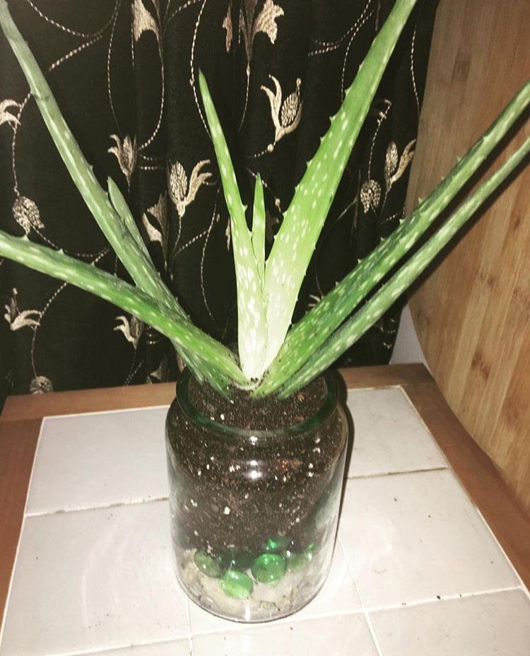 Aloe propagation