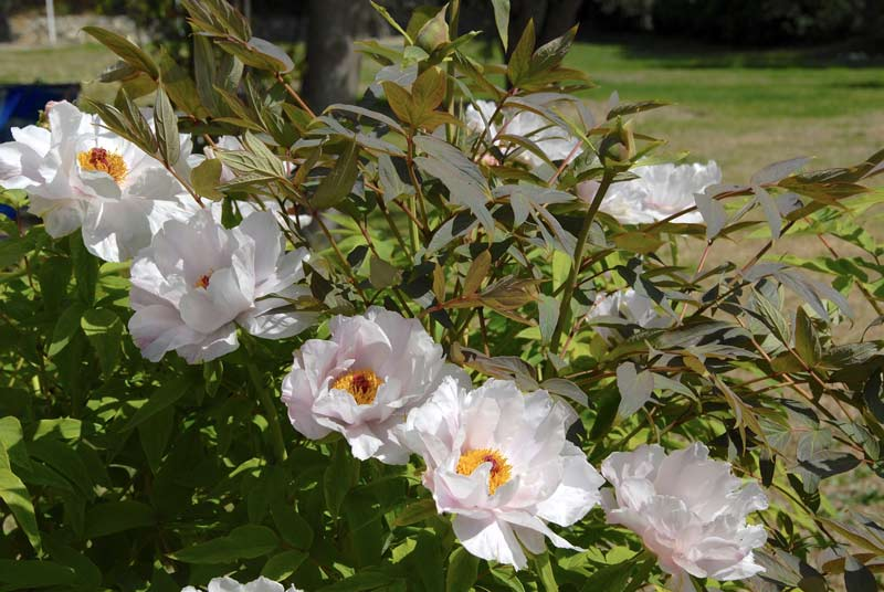 QVC Gardening - February Highlights: Tree Peony white