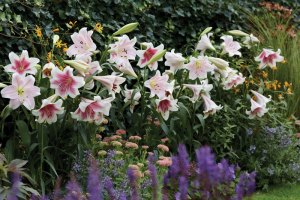QVC Gardening: California lily collection