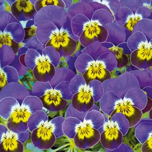 QVC gardening: Autumn collection flowers