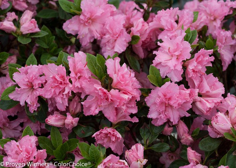 Azalea Bloom Champion double pink