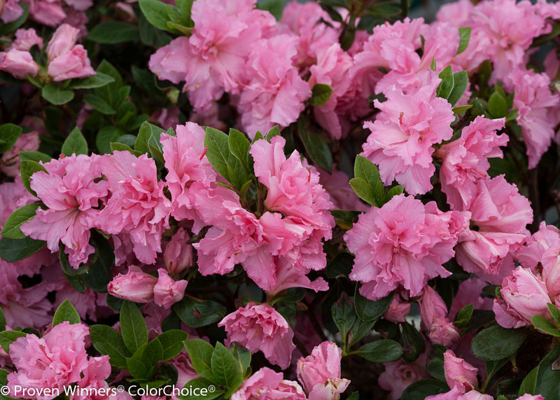 Azalea Bloom Champion double pink