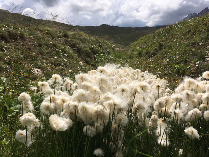 Cotton Grass at 2200m